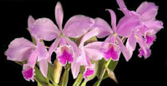 orquideas-cattleya