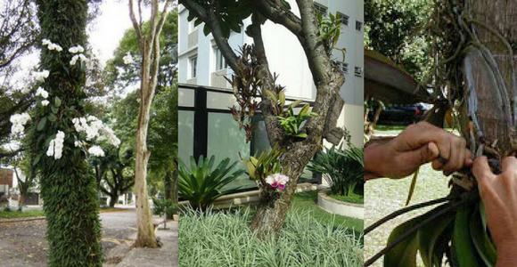 plantar-orquideas-na-arvore