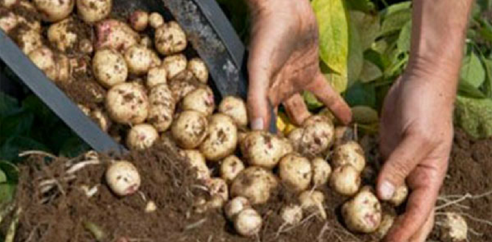 plantar-batatas-baldes-ideal-nao-quintal-3