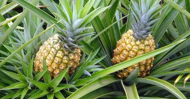 11 Benefícios do Abacaxi