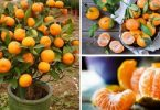 Cultivar tangerina e laranja